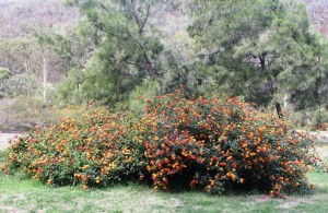 The lantana is in flower