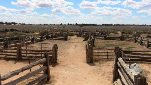 Sheep yards at Mungo were built from local timber, mostly cypress pine