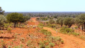 Sheep on the higher country near New Chum homestead. The hills in the far distance are on the other side of the Darling