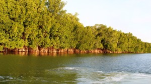 Mangroves are crocodile habatat