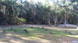 Grazing kangaroos at Girraween