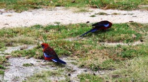 Feeding Rosellas