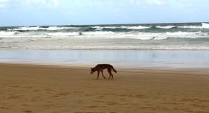 A genuine Fraser Island dingo