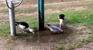 Birds feeding under a tap.
