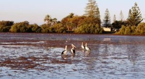 Pelicans at Burnett Heads