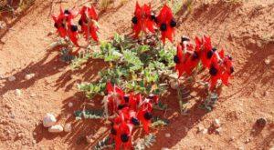 Sturts Desert Pea