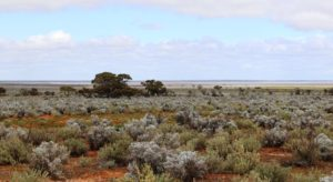 Sheep grazing country in the Gawler Ranges