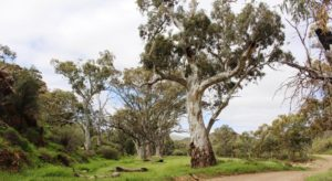 Stately River Red Gums in the bed of the creek at Willow Waters camping area