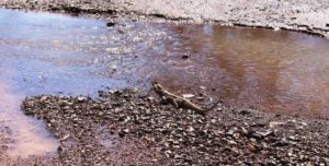 A Bearded Dragon pauses to search the sky while drinking at a running stream - in the middle of the track.
