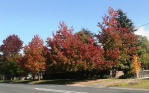 Autumn tints at Mittagong