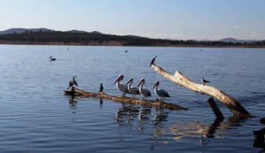 And pelicans all in a row!