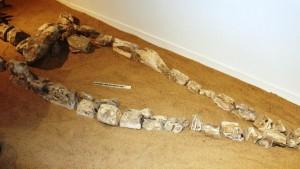 Fossilised Bones of Didosaur Head