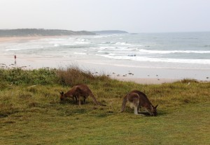 Roos grazing at Red Cliff