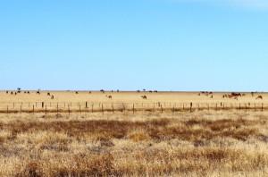 Farmed camels near Winton