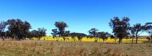 Golden canola fields