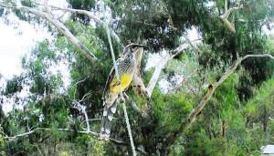 The Red Wattle Bird