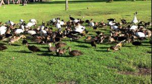 Water birds being fed at the caravan park