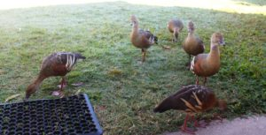 We were visited by a group of ducks