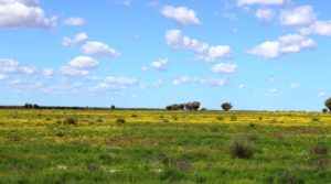Yellow daises adorn the Barcoo flood plains