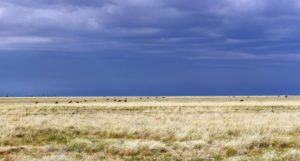 Cattle grazing against the background of a grey sky