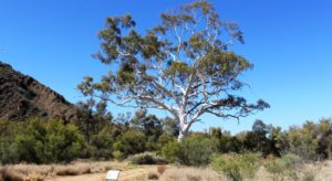 The tallest Ghost gum