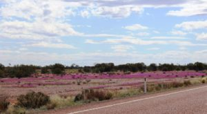 Massed blooms by the highway
