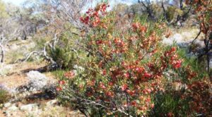 A flowering bush beside the path to the organ pipes