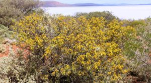 The Wattle was in bloom by the lake