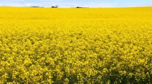Canola in full bloom at the top of Port Germein Gorge