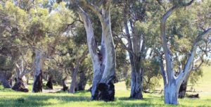 River Red Gums line the banks and stand in the beds of Flinders Ranges creeks.