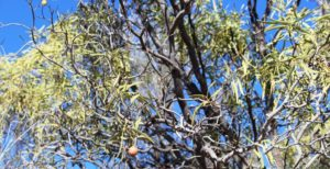 Not much fruit on this Quandong tree.