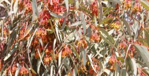 We stopped for lunch near a flowering gum tree