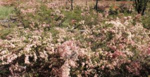 Flowering shrubs between St George and Dalby.